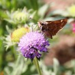 Butterfly on bee balm - Stock Photo
