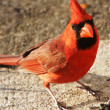 Stock Photo: Male Cardinal