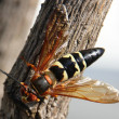 Stock Photo: Cicadkiller wasp
