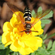 Cicada killer wasp - Stock Photo
