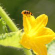 Lady bug on yellow flower - Stock Photo