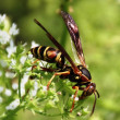 Stock Photo: Wasp and Flower