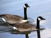Geese on lake — Stock Photo