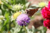 Butterfly on bee balm — Stock Photo