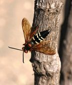 Cicada killer wasp — Stock Photo