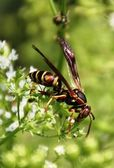 Wasp and Flower — Stock Photo