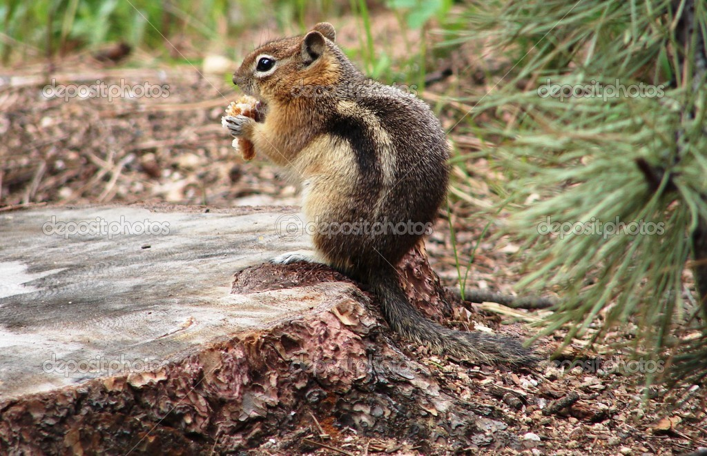 Squirrel on stump  Foto Stock #11548005