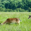Three fallow deer on a meadow — Stock Photo #11322098