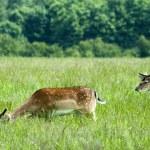Three fallow deer on a meadow — Stock Photo #11322098