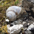 Snail on stone - Stock Photo