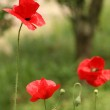 Tree red poppies — Stock Photo