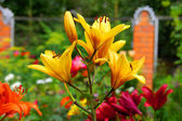 Yellow lilies in the garden — Stock Photo