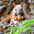 Squirrel in a tree — Stock Photo #11377112