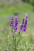 Wild lilac flowers — Stock Photo