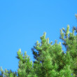 A spruce and a blue sky - Stock Photo