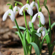 Stock Photo: Flowers of snowdrops