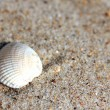 Sea shell — Stock Photo