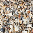 Sea shells - Stock Photo