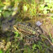Frog in grass - Stockfoto