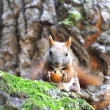 Squirrel in a tree — Stock Photo #11690006