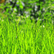 Fresh green lawn grass — Stock Photo