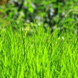 Foto Stock: Fresh green lawn grass