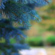 Brightly green branches of a fur-tree or pine - Stock Photo