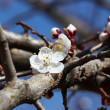 White-pink cherry blossom — Stock Photo