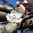 White-pink cherry blossom — Stock Photo