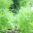 Fresh green dill - Stockfoto