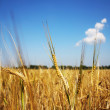 Ears of wheat - Foto Stock