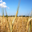 Ears of wheat - 