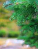 Green branches of a fur-tree or pine — Stock Photo