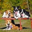 Four dogs border collie portrait — ストック写真