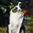 Dog Border collie portrait with flower — Stock Photo