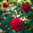 Flowers Red Roses — Stock Photo #11453631