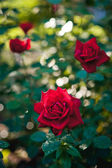 Flowers Red Roses — Stock Photo