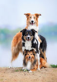 Composition of the three dogs border collie and sheltie — Stock Photo
