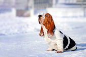 Sad dog Basset Hound in winter — Stock Photo