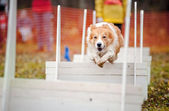 Funny dog border collie jumping — Stock Photo