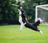 Frisbee dog catching — Stock fotografie