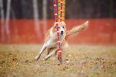 Cão engraçado em agilidade — Foto Stock
