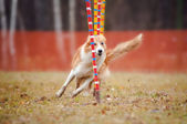 Funny dog in agility — Stockfoto