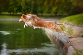 Dog jumps into the water — Stock Photo