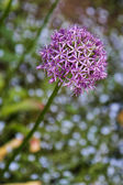 Purple Allium flower — Stock Photo