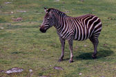 Zebra in a field — Stock Photo