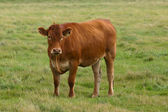 Brown Gelbvieh Cow on a Family Farm — Stock Photo