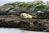 Seal lays on a small island — Stock Photo