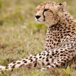 Resting Alone Cheetah — Stock fotografie