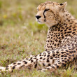 Resting Alone Cheetah — ストック写真